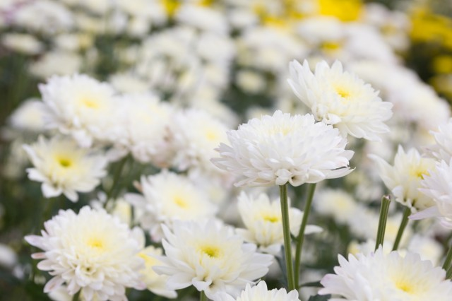 Beautiful white chrysanthemum flower background