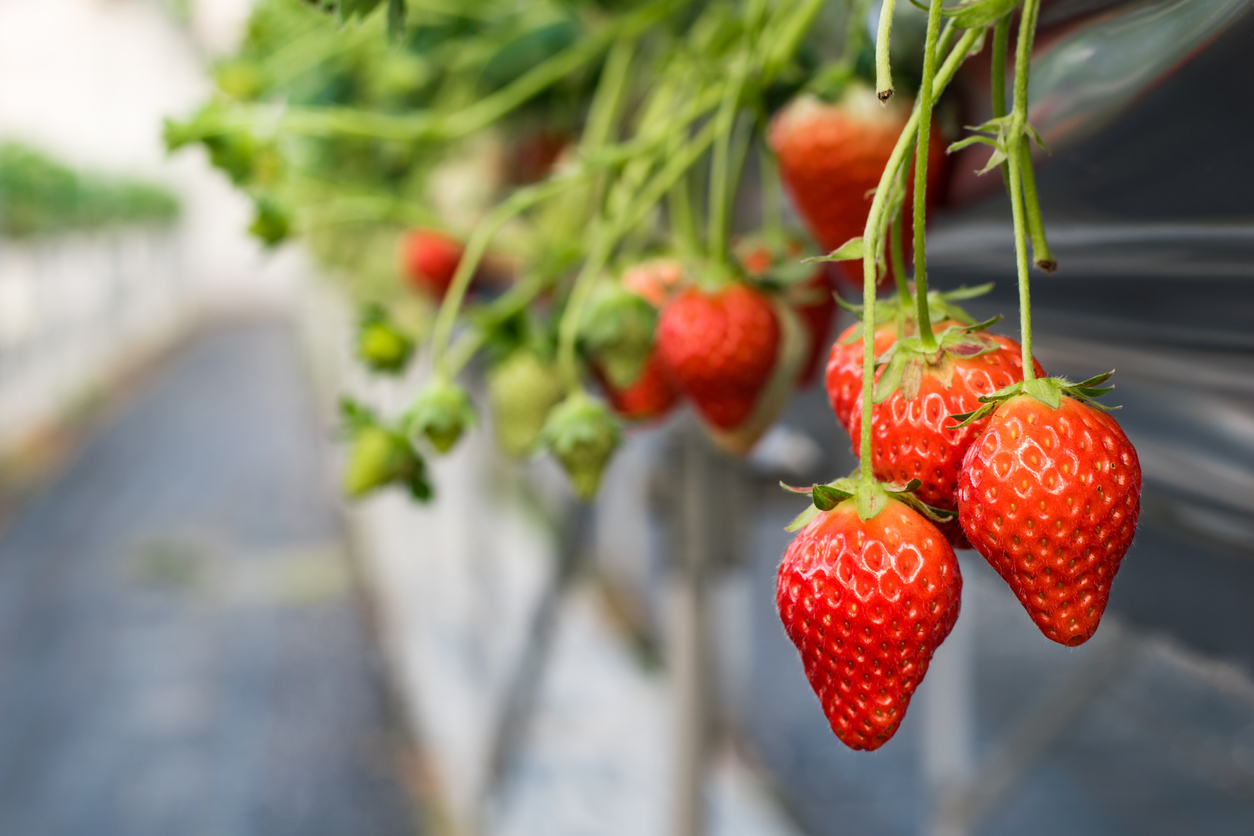 Ripe Greenhouse Strawberries Ready to be Picked