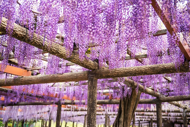 Japanese wisteria of selective focus