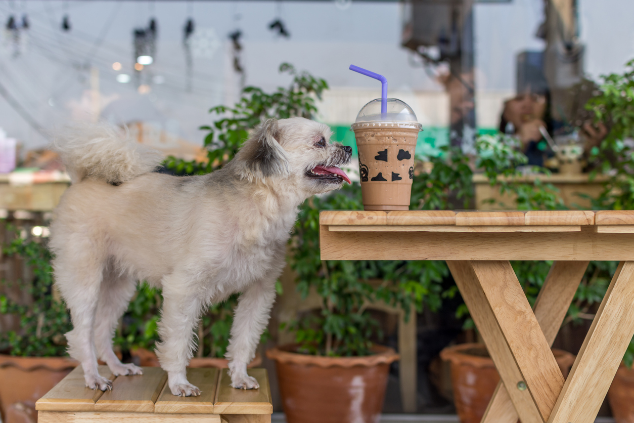 Dog so cute mixed breed with Shih-Tzu, Pomeranian and Poodle sitting on chair in cafe coffee shop or bakery ice-cream restaurant