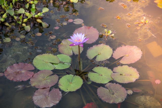 Lotus flower, Water Lily.