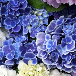 Closeup violet and white beautiful hydrangea
