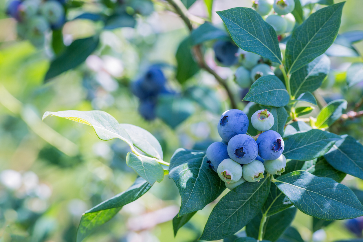 Ripe blueberries on a branch in a blueberries orchard.