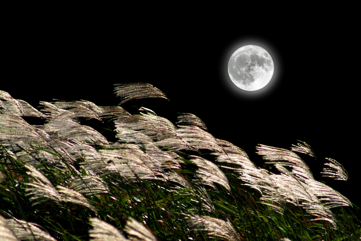 Japanese pampas grass and the Moon