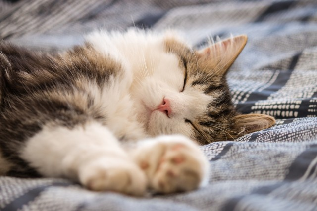 lazy tabby cat resting on blue bed cover