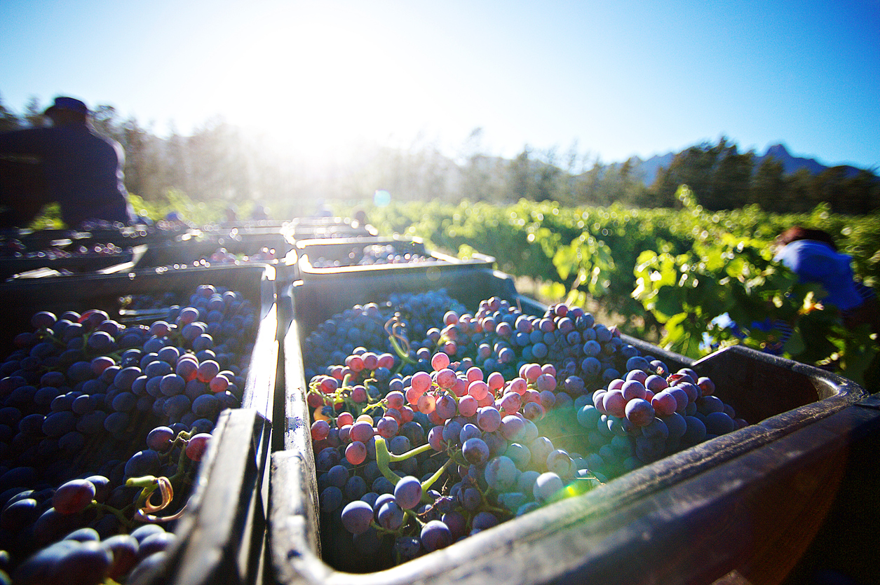 Freshly Cut Grapes after being Harvested at sunrise in crates between the vineyards