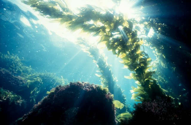 Kelp forest sunshine